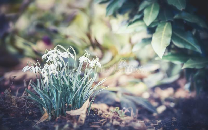 Pierwszy sprig kwitnie śnieżyczki przy plenerowym natury tłem zdjęcie stock