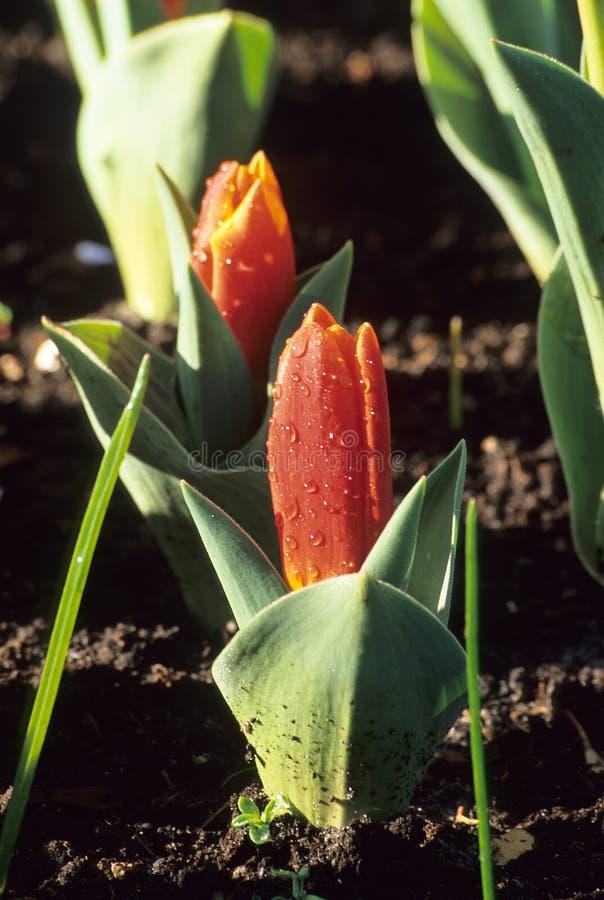 pierwszy tulipany wiosna obrazy stock