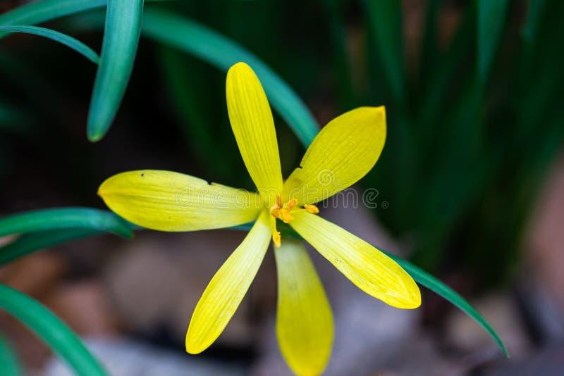 pierwszy wiosenny kwiat fotografia royalty free