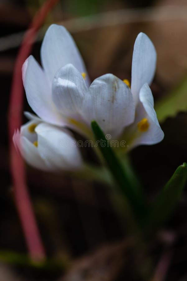 pierwszy wiosenny kwiat zdjęcia stock