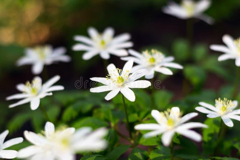 Pierwszy wiosna kwiaty s? ?nie?yczkami obraz royalty free