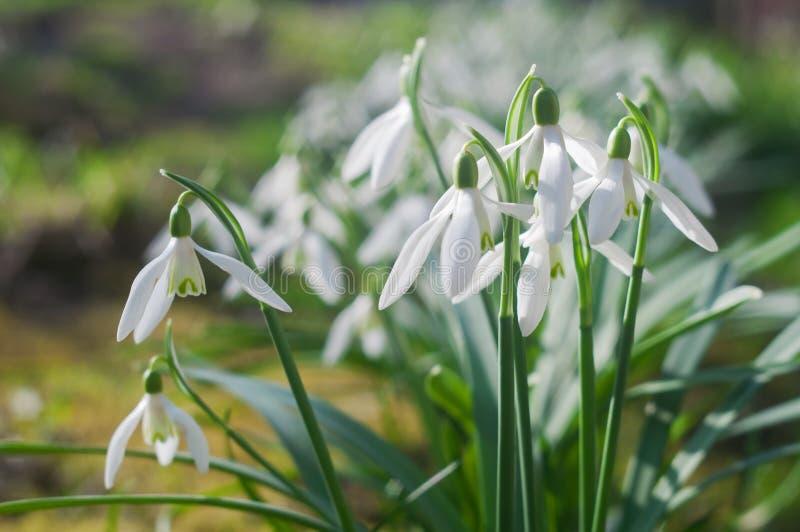 Pierwszy wiosna kwitnie śnieżyczki na pogodnym wiosna dniu obrazy royalty free