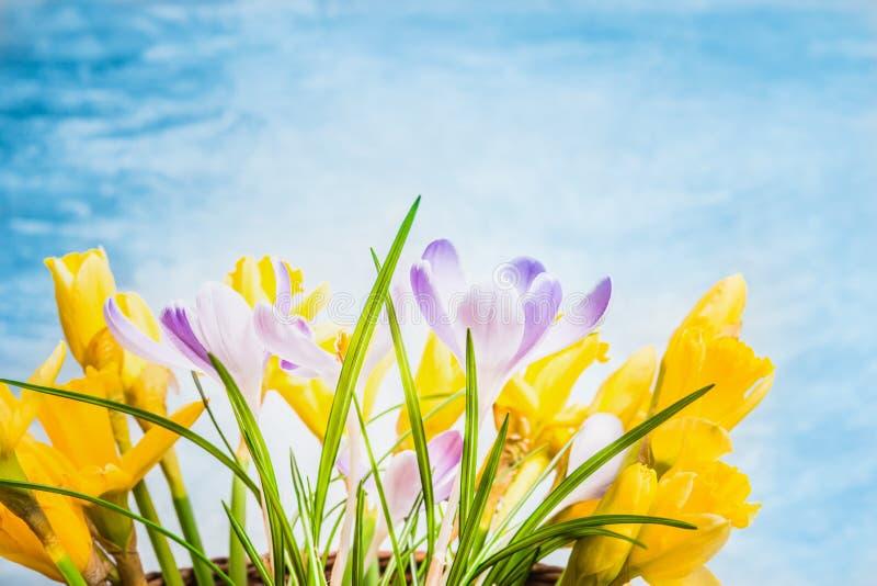 Pierwszy wiosna kwitnie na błękitnym tle, boczny widok Krokusy i narcyz wiązka zdjęcia royalty free