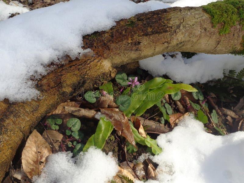 Pierwszy wiosna kwitnie wśród śniegu w lesie zdjęcia royalty free