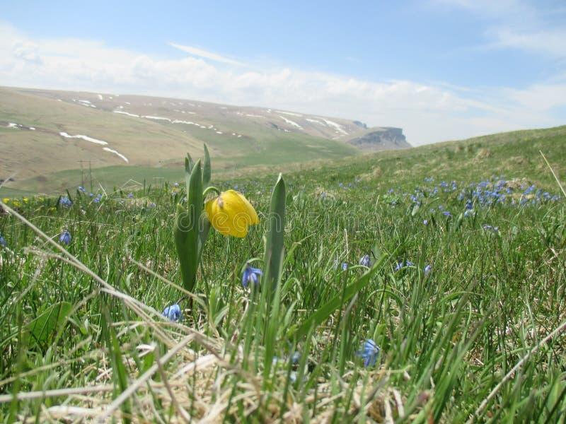 Pierwszy wiosna kwitnie w górach fotografia royalty free