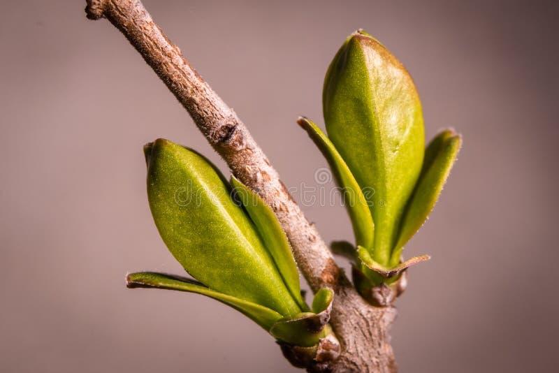 Pierwszy wiosna pączkuje pączek dzikie rośliny w lesie zdjęcie royalty free