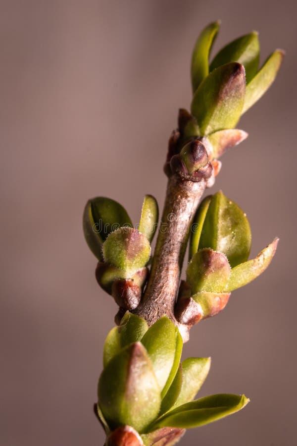 Pierwszy wiosna pączkuje pączek dzikie rośliny w lesie zdjęcie stock