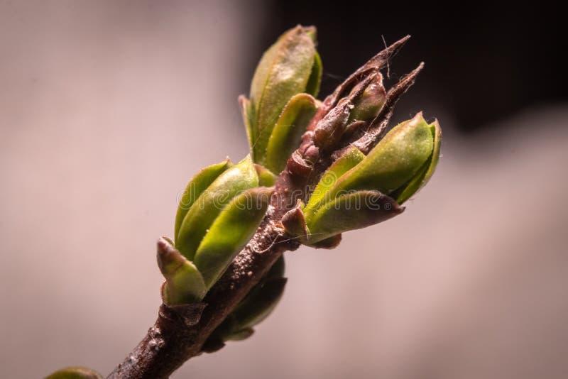 Pierwszy wiosna pączkuje pączek dzikie rośliny w lesie fotografia royalty free