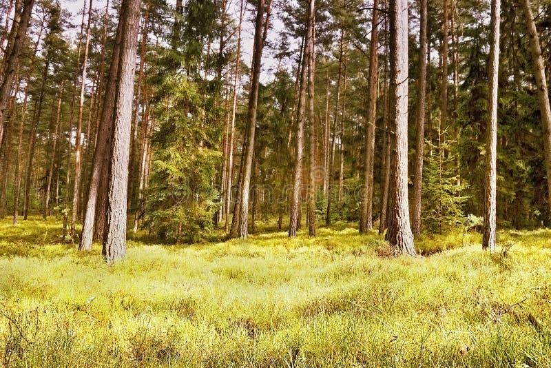 Pierwszy wiosny światło słoneczne w drewnach w Macha ziemi w czeskiej naturze obrazy stock