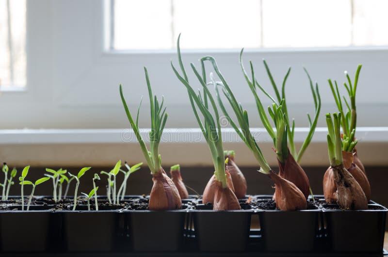 Pierwszy wiosny cebuli warzywa obraz royalty free