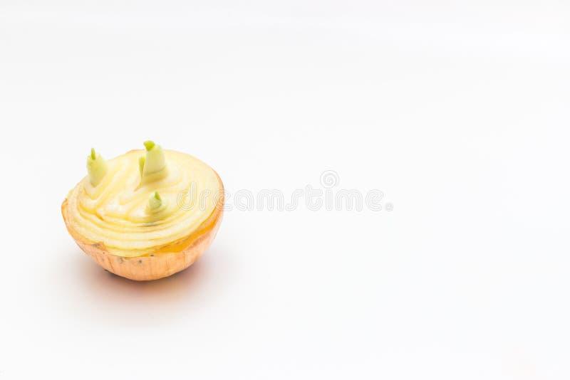 pierwszy wiosny warzyw cebulkowy dorośnięcie obraz royalty free