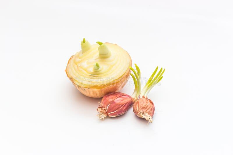 pierwszy wiosny warzyw cebulkowy dorośnięcie zdjęcia stock