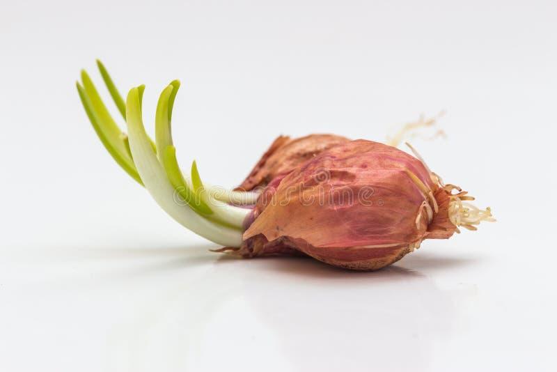 pierwszy wiosny warzyw cebulkowy dorośnięcie obrazy stock