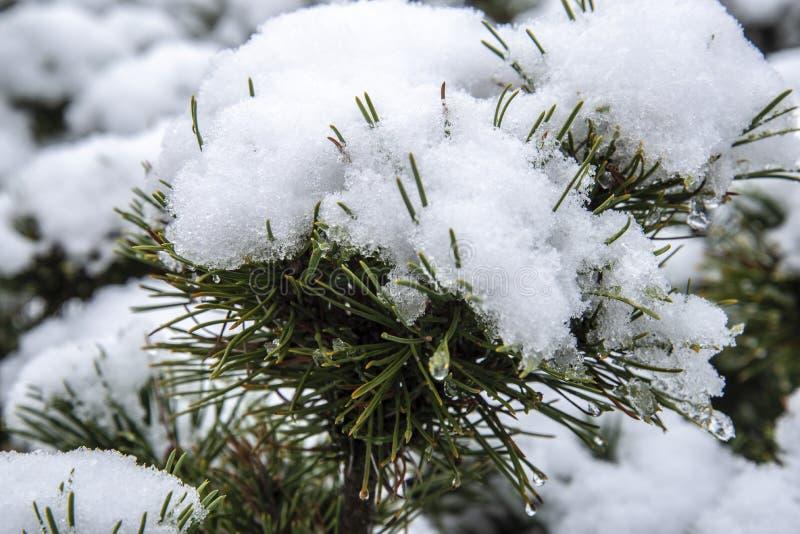 pierwszy zima śnieg na sosnowym krzaku fotografia royalty free