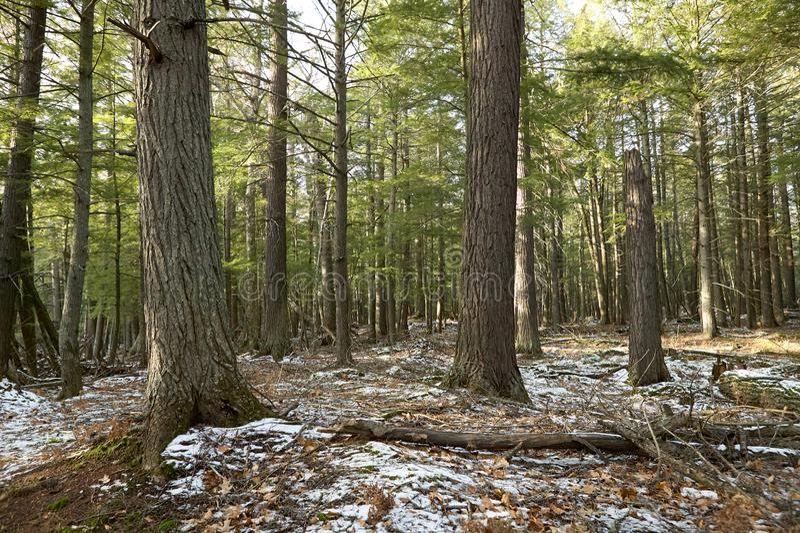 Pierwszy zima śnieg w Michigan lesie obraz stock