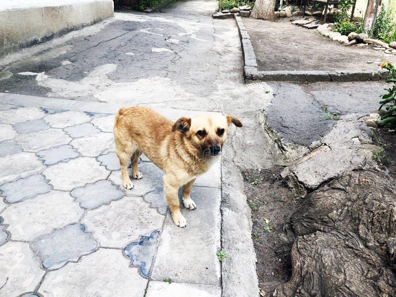 Pies Śliczny śmieszny szczeniak Brown pies Pies jest wiernym przyjacielem watchdog obraz royalty free