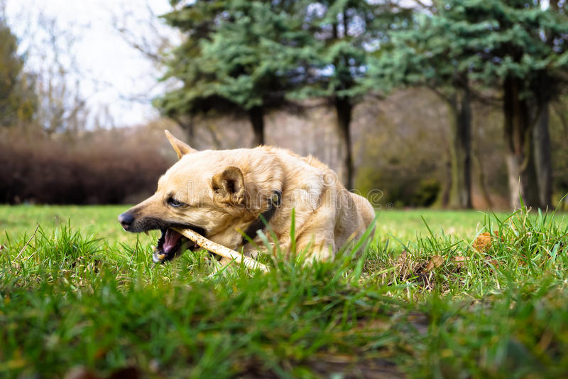Pies żuć kij obraz royalty free