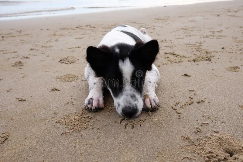 Pies żywy na plaży obrazy royalty free