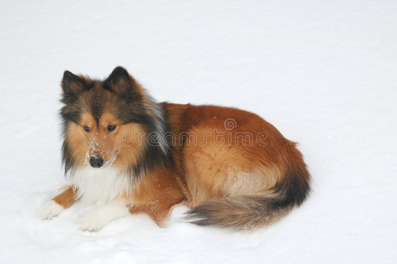 pies 10 śnieg obraz royalty free