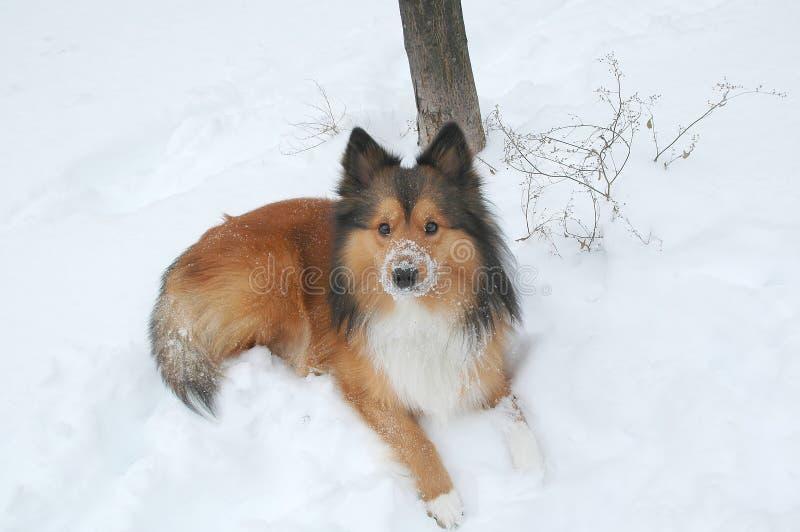 pies 11 śnieg fotografia stock