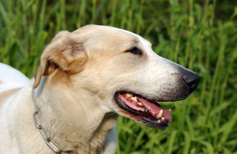 Download Pies. zdjęcie stock. Obraz złożonej z oczy, zęby, migreny - 136926