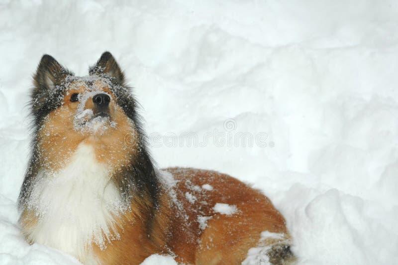 pies 2 śnieg zdjęcie royalty free