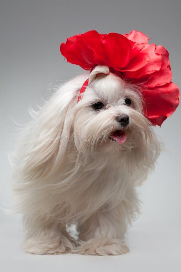 Download Pies zdjęcie stock. Obraz złożonej z biały, zwierzę, 0 - 28974308