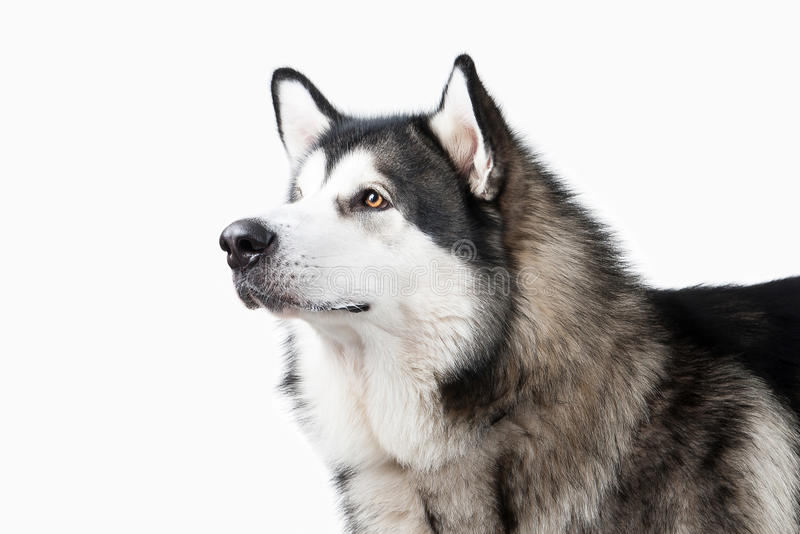 Pies Alaski Malamute na białym tle zdjęcia stock