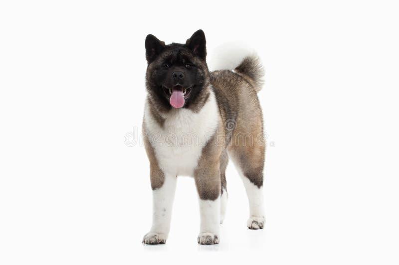 Pies Amerykanina Akita szczeniak biały tło fotografia stock
