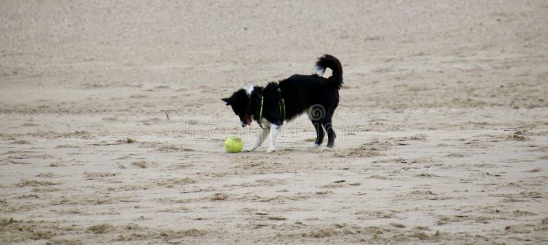 Pies bawić się na plaży zdjęcie stock