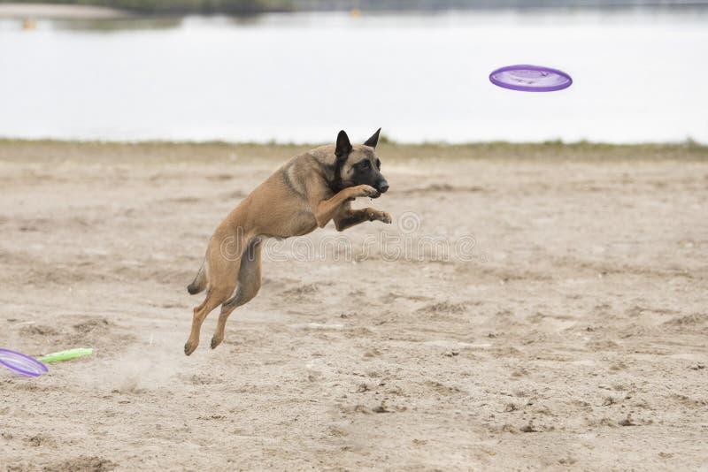 Pies, Belgijska baca Malinois, skacze dla frisbee fotografia stock