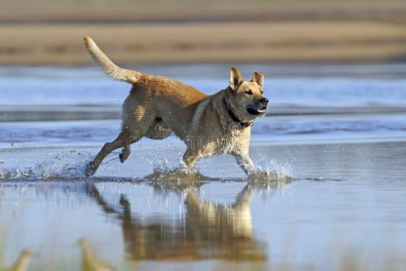 Pies biega na wodzie zdjęcia royalty free