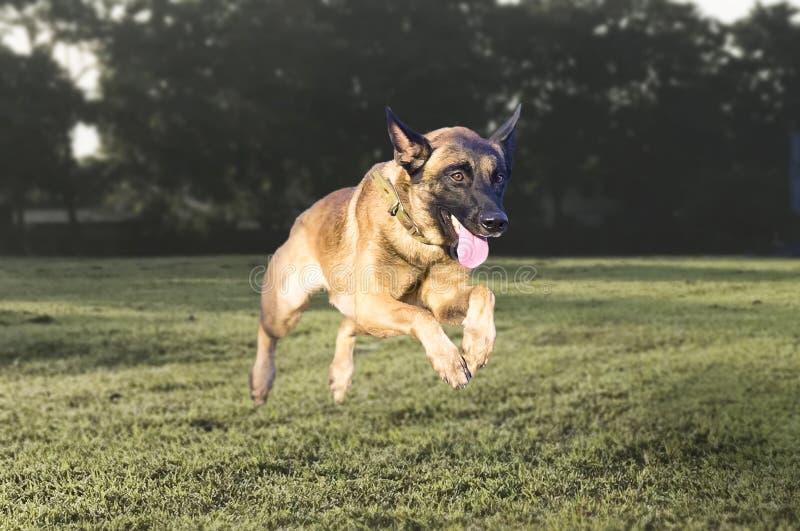 Pies biegający w parku fotografia royalty free