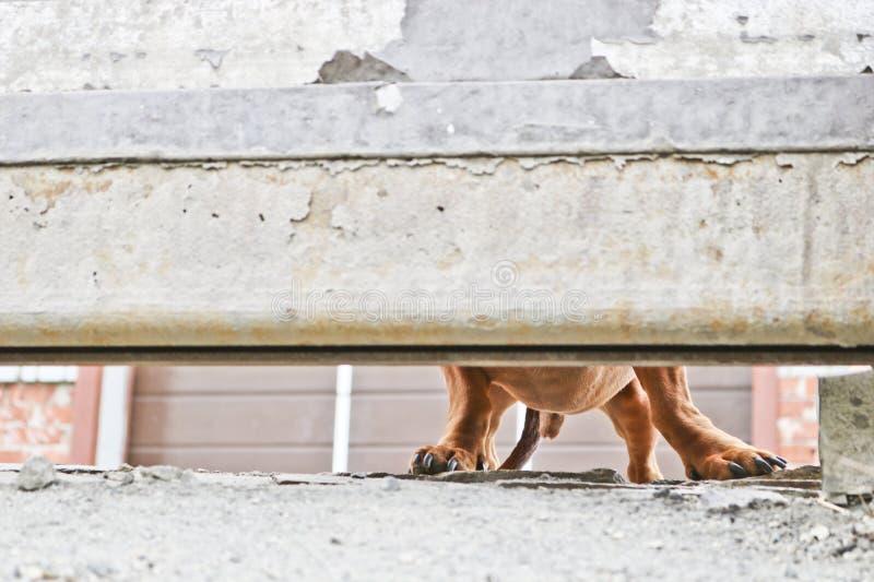 Pies chroni dom i patrzeje passersby Brown Niemiecki pies - stra?owy pies Narzekaj?cy doggy spojrzenie zdjęcie royalty free