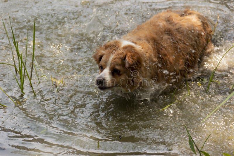 Pies cieszy się chłodno wodę jezioro na gorącym letnim dniu obraz stock