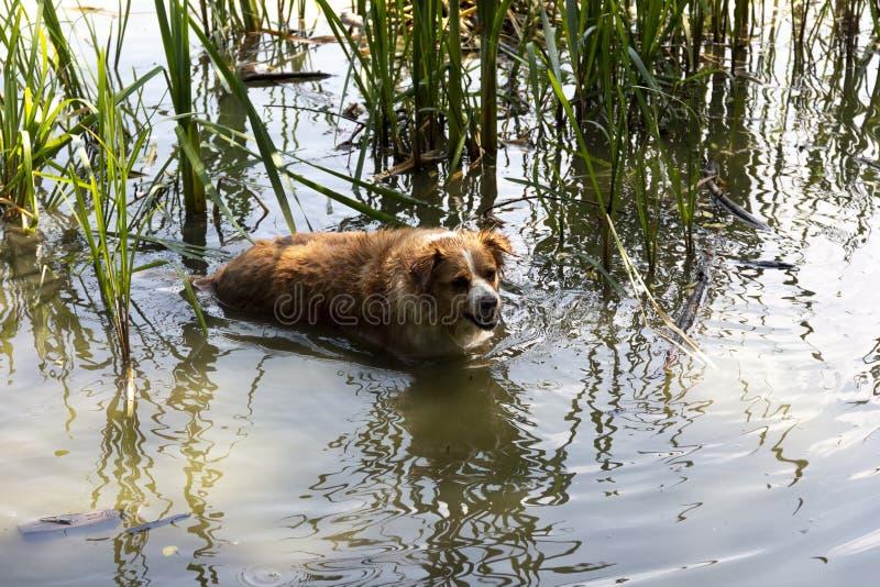 Pies cieszy się chłodno wodę jezioro na gorącym letnim dniu fotografia stock