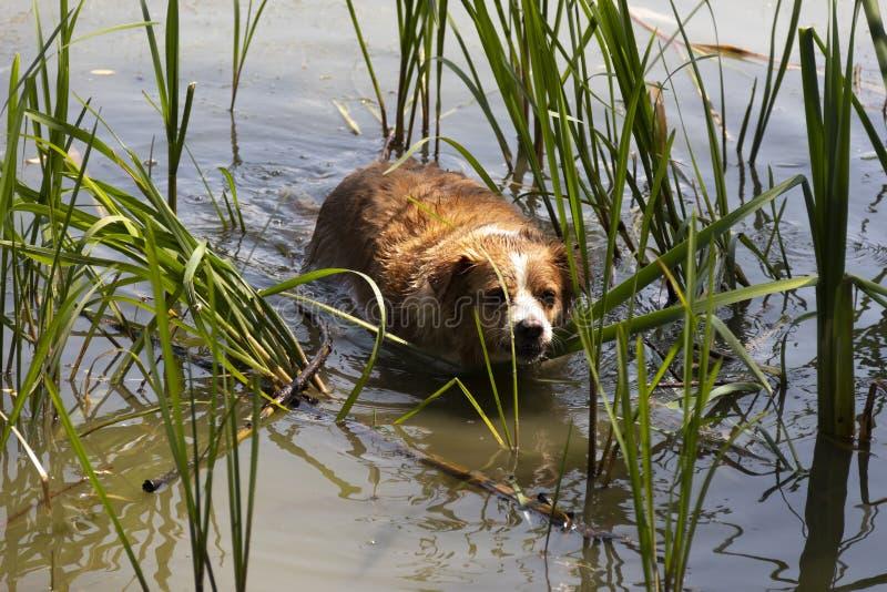 Pies cieszy się chłodno wodę jezioro na gorącym letnim dniu zdjęcie stock