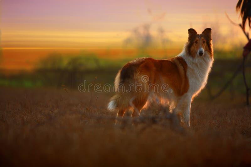 pies collie, obraz stock