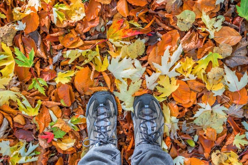 Pies con los zapatos para andar en un fondo de hojas otoñales coloridas caidas, paseo del bosque foto de archivo libre de regalías
