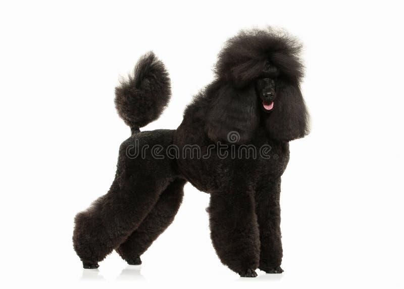 Pies Czarnego pudla duży rozmiar odizolowywający na białym tle fotografia royalty free