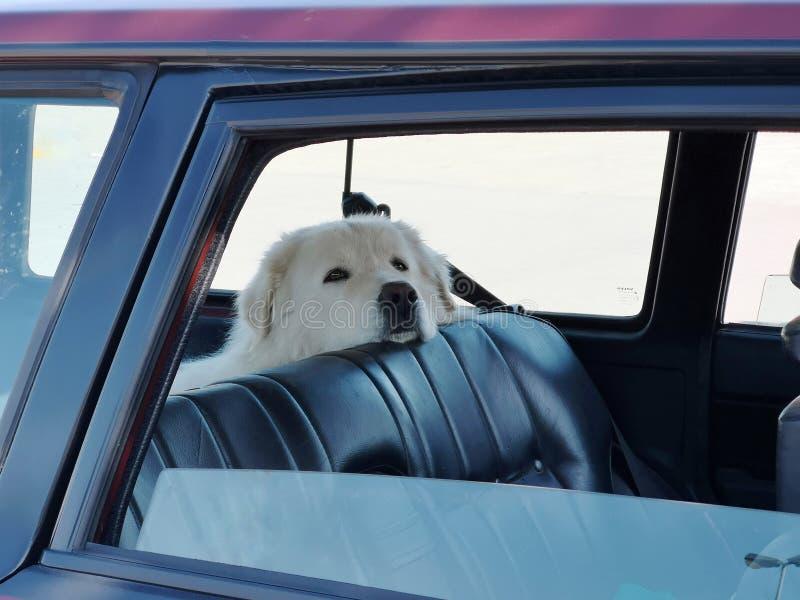 Pies czeka w samochodzie zdjęcia stock