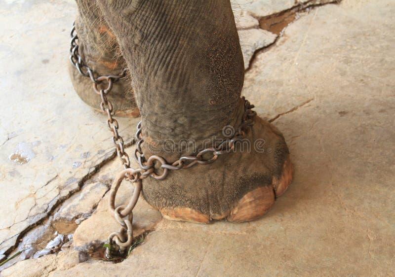 Pies de los elefantes con los grillos fotos de archivo