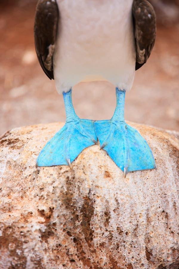 Pies del bobo con base azul fotos de archivo