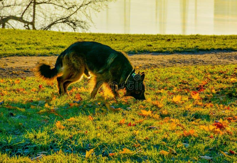 Pies dla spacer jesieni wczesnego ranku obraz stock