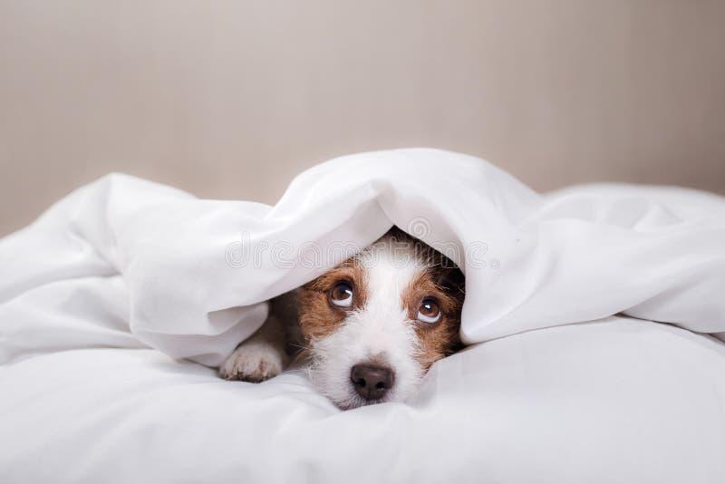 pies do łóżka terier jack Russell zdjęcia royalty free