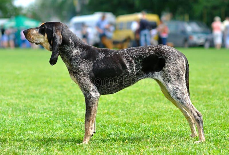 Pies. Duży błękitny Gascon fotografia royalty free