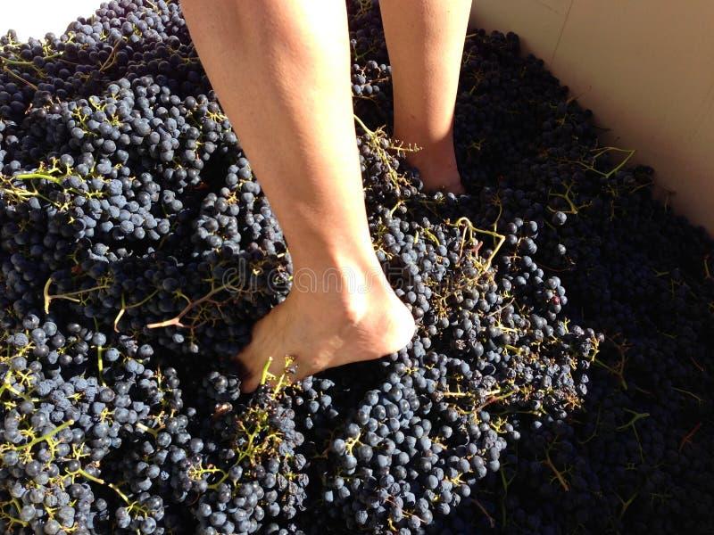 Pies el pisar fuerte de uvas en Sonoma, California, los E.E.U.U. del Merlot fotos de archivo