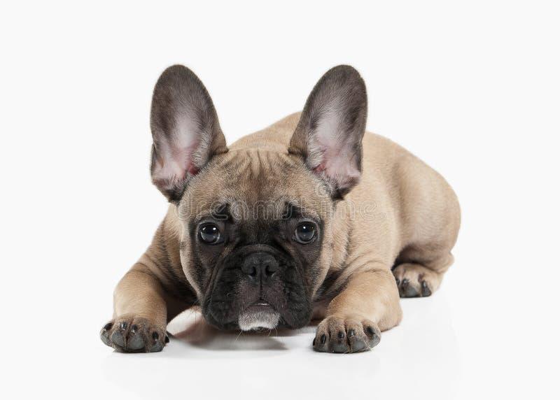 Pies Francuskiego buldoga szczeniak na białym tle zdjęcia royalty free