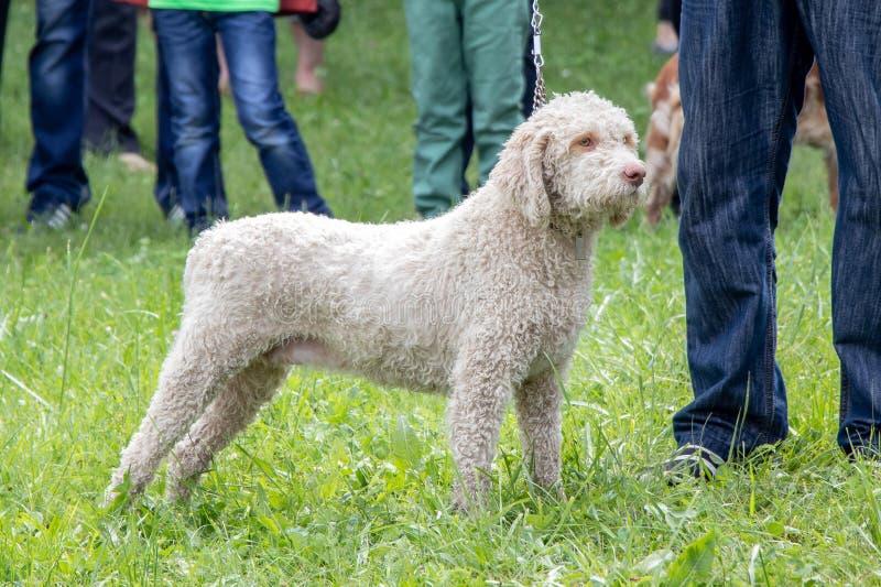 Pies hoduje lagotto zdjęcia royalty free