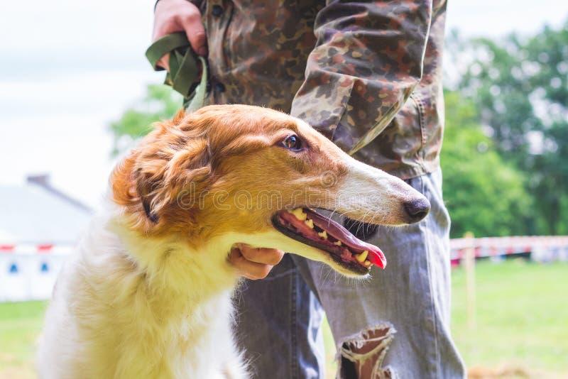 Pies hoduje Rosyjskiej charcicy blisko swój właściciela, portret pies w w górę profile_ obrazy stock